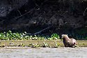 Male jaguar (Panthera onca) stealthily swimming / approaching (only head visible) an unsuspecting capybara (Hydrochoerus hydrochaeris). Northern Pantanal, Cuiaba River, Mato Grosso, Brazil. (hunt unsuccesful)