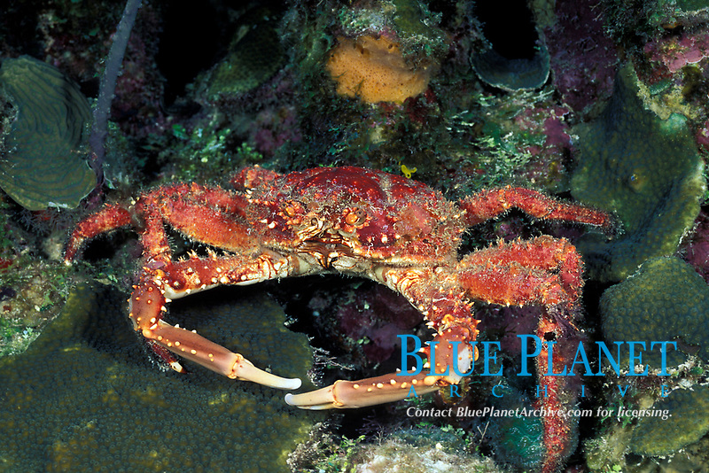 spider crab or channel clinging crab, Mithrax spinosissimus Roatan, Bay Islands, Honduras (Caribbean Sea), Atlantic