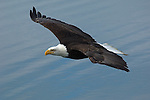 A bald eagle soars over the water in Homer, Alaska.