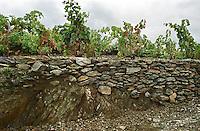 Collioure. Roussillon. Vines trained in Gobelet pruning. Vine leaves. Terroir soil. France. Europe. Vineyard. Soil with stones rocks. Schist slate soil.