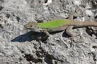 Ruineneidechse, Ruinen-Eidechse, Ruinenechse, Podarcis siculus, Lacerta sicula, Italian wall lizard, ruin lizard, Italian wall-lizard, Lézard des ruines, Italien, Sizilien