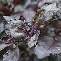 Basil 'Red Leaved' (Ocimum basilicum 'Basilico Rosso'), mid June.