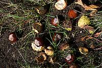 GERMANY, lower saxonia, Forest, fruits of chestnut tree / DEUTSCHLAND, Niedersachsen, Wald, Kastanien