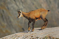 Chamois (Rupicapra rupicapra), young walking, Grimsel, Bern, Switzerland