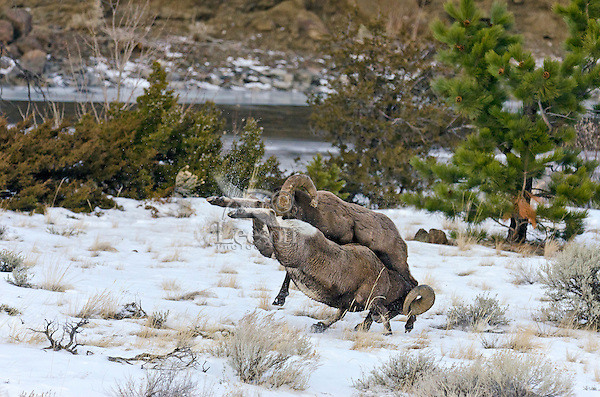 Rocky Mountain bighorn sheep (Ovis canadensis canadensis) rams fighting--head butting during fall rut.  Sometimes the rams will miss hitting horns squarely as in this situation.  Western U.S., late fall.