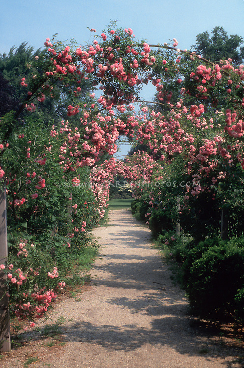 Rosa 'Dorothy Perkins' pink  climbing rose on trellises creating mirrored symmetry landscaping archways allee, rambler rose