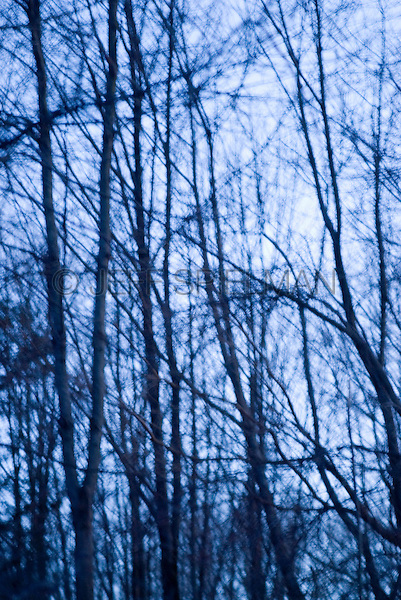 AVAILABLE FOR LICENSING FROM GETTY IMAGES. Please go to www.gettyimages.com and search for image # 132444994.<br /> <br /> Defocused and Blue Tinted View of Bare Trees in a Forest at Dusk during the Winter, Warwick, New York State, USA