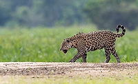 This may have been my favorite jaguar sighting of the trip, merely because we got nice unobstructed views of a cat walking along the beach. Despite the late morning light, the sand acted as a bit of a reflector, so the lighting wasn't too bad.