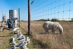 """Polar Bear (Ursus maritimus) grazing out side the perimeter fence at Nanuk Lodge, shores of Hudson Bay, Canada. Being filmed by BBC NHU for series """"Frozen Planet"""" in late September(cameraman John Aitchison)."""