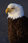 Profile portrait of bald eagle in Southeast Alaska.