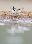 Texas, Rio Grande Valley, Santa Clara Ranch, Lark Sparrow