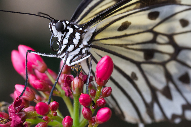 Backlit butterfly with black and white wings set against red flower buds