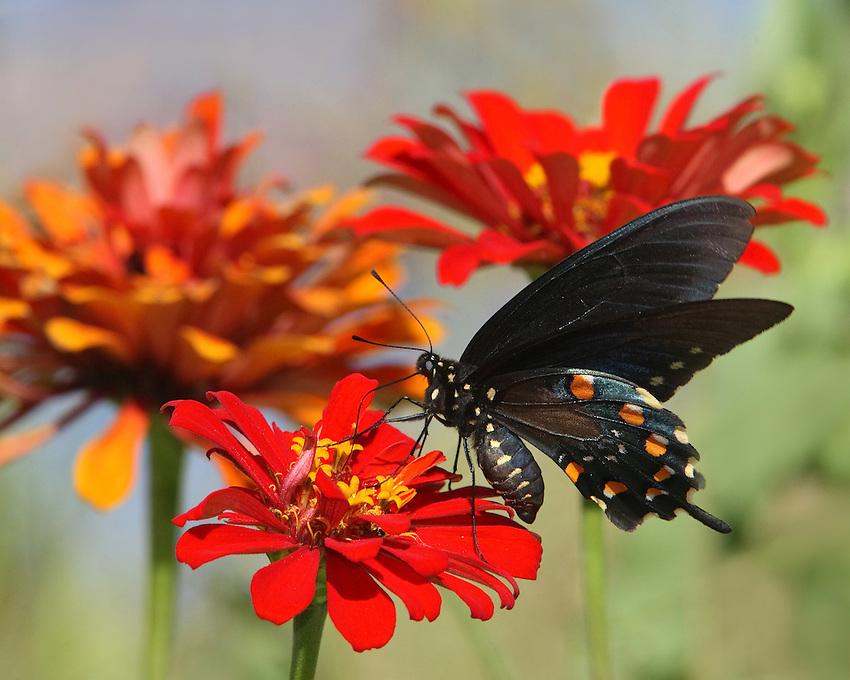 Pipevine Swallowtail & orange zinnias..