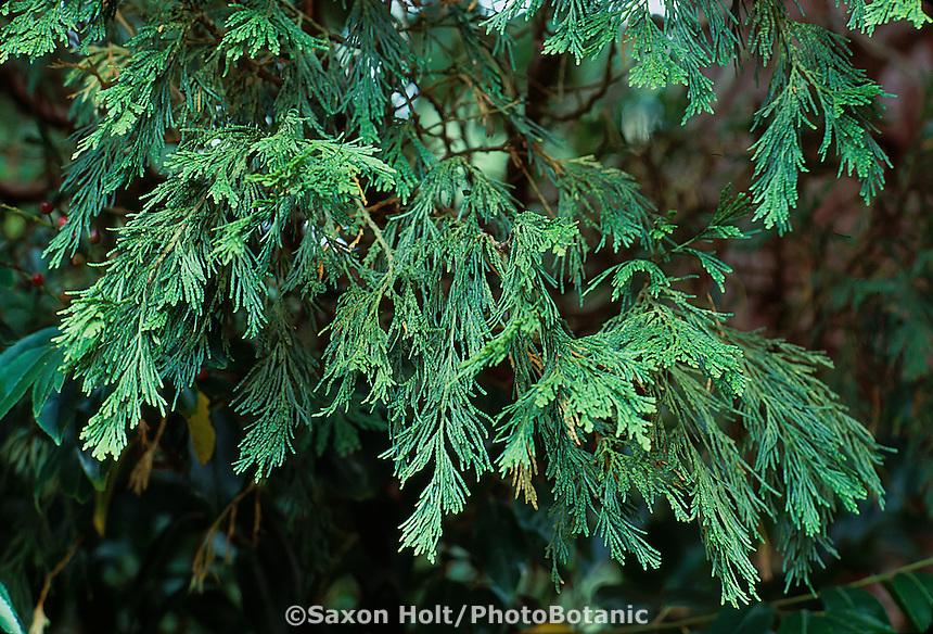 Calocedrus decurrens (Incense Cedar) foliage detail