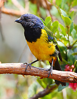 Male black-chested mountain-tanager
