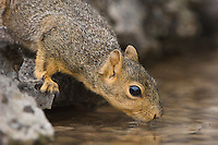 Eastern Fox Squirrel, Sciurus niger, adult drinking from spring fed pond, Uvalde County, Hill Country, Texas, USA
