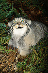 The closest living thing to a living Cheshire cat, the bug-eyed, flat-headed Pallas cat has a most remarkable face. Native to parts of Central Asia.