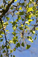 Ginkgo, Mädchenhaarbaum, Fächertanne, männliche Blüten, Ginkgo biloba, Maidenhair Tree, Arbre aux quarante écus, Ginko, Gingko