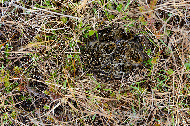 Nelwy hatched Dunlin (Calidris alpina) chicks in the nest. Yukon Delta National Wildlife Refuge, Alaska. June.