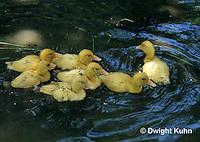 DG12-010x  Pekin duck - ten day old ducklings swimming