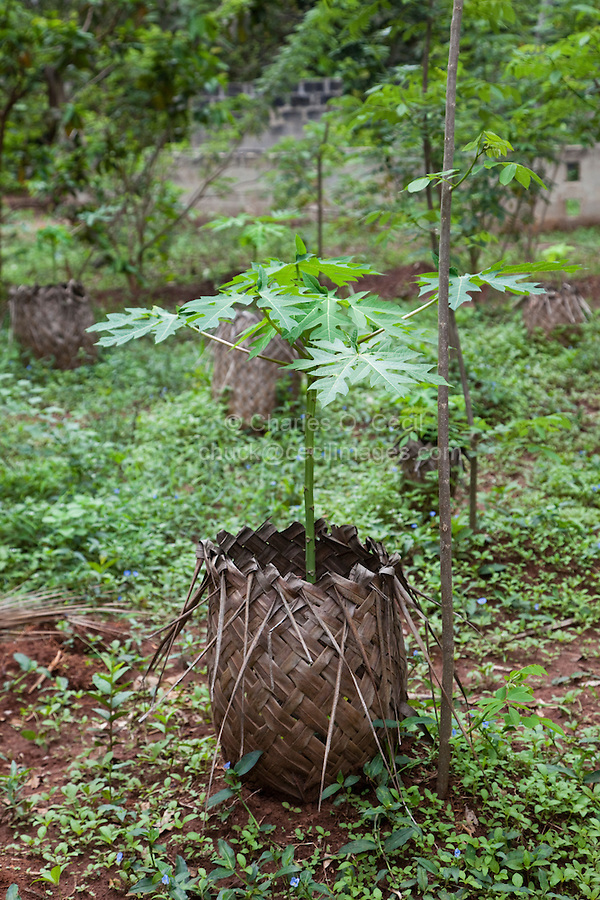 Zanzibar, Tanzania.  A Basket Woven from Palm Fronds Protects a New Papaya Tree from Browsing Cattle.