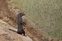 Mongoose (Herpestidae) Yala National Park, Sri Lanka