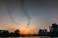 Bats fly up to 50 miles in search of insects, mostly cotton bullworm and corn earworm moths, a service that saves Texas cotton farmers $1.7 million a year by reducing the amount of pesticides needed. Austin, Texas is home to the world's largest known urban bat colony (the Congress Bridge in Austin with 1.5 million bats) and the largest rural colony (Bracken Cave in southern Comal County, with 20 million bats).