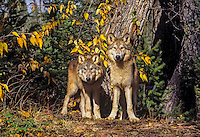 Young Gray Wolves (Canis lupus) in fall.