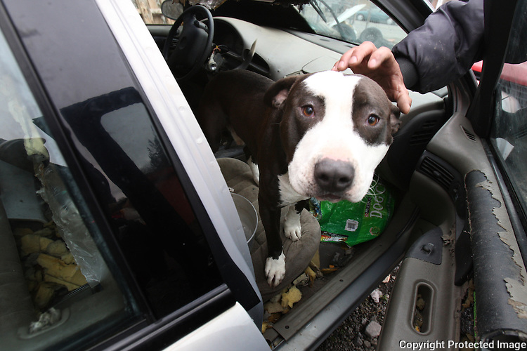 """A one year old pitbull named Bush, after President Bush, is shut in the car during work hours, then let out to guard Albertson Used Tire yard in West Seattle by night. The dog doesn't get any interaction with people because his owner Alberto Quintanilla says his customers don't like it.  """"That's where he needs to be"""" he says.  He's doing OK in the car."""" (Karen Ducey/Seattle PI)"""