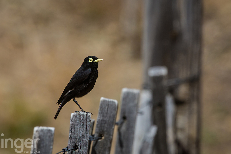 Spectacled Tyrant on the fence at Estancia la Angostura in Patagonia, Argentina