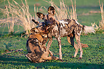 African Hunting Dogs or Painted Hunting Dogs (Lycaon pictus) playing / greeting. South Luangwa National Park, Zambia.