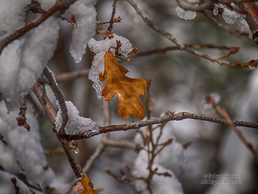 Last Leaf, Oak Tree along Oak Creek, Arizona