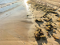 tons of seaweed invades the beach at sunset in Bahia Kino, Sonora Mexico. Beach, bay<br /> (Photo by Luis Gutierrez / Norte Photo)<br /> <br /> <br /> toneladas de algas marionas invade la playa al atardecer en bahia Kino, Sonora Mexico. Playa, bahia<br /> (Photo by Luis Gutierrez/ Norte Photo)