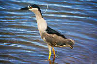 Black Crown Nigh Heron. Kealia Pond National wildlife Refuge. Maui, Hawaii