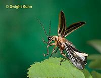 1C24-529z  Firefly Adult - Lightning Bug flying from leaf - Photuris spp.