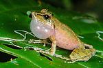Male Rainforest Treefrog (Gephyromantis sp.) calling at night. Ranomafana National Park, SE Madagascar.
