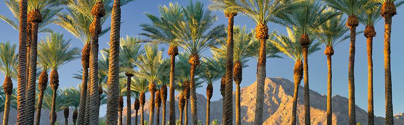 Palm trees and moon with sunrise on Santa Rosa Mountains, California