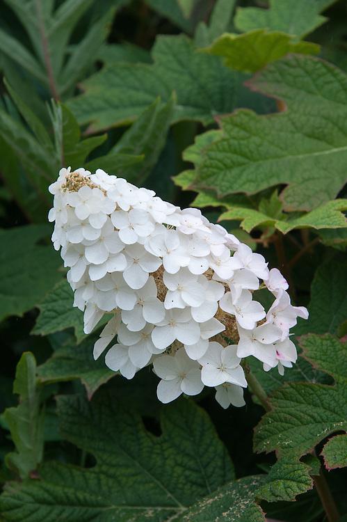 White Oak-leaf hydrangea (Hydrangea quercifolia), early August.