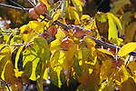12861-CS American Persimmon, Diospyros virginiana, branch of female tree with fruit, in fall color, October, at Mourning Cloak Ranch, Tehachapi, CA USA