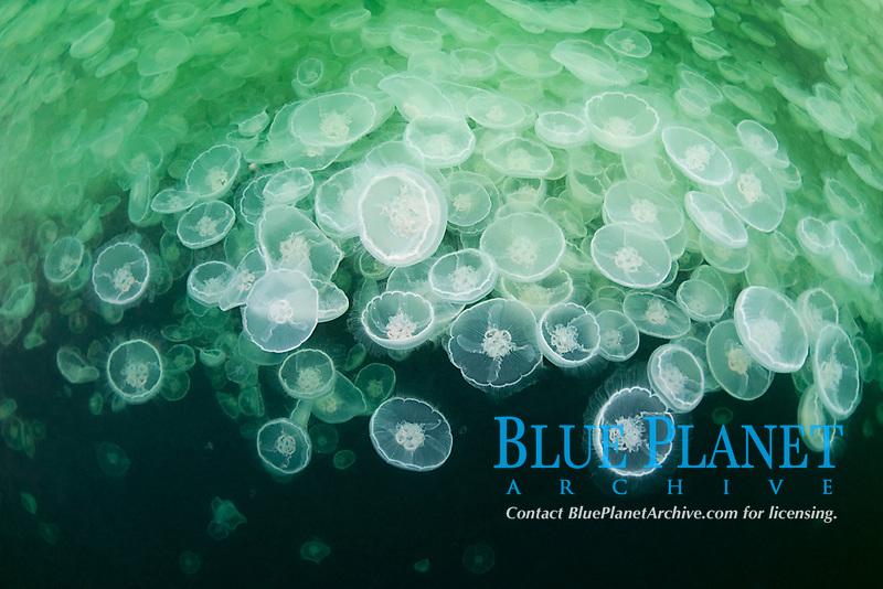 jelly smack or swarm or aggregation of moon jellies or jellyfish, Aurelia aurita, Port Fidalgo, Alaska (Prince William Sound)