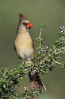 Northern Cardinal, Cardinalis cardinalis, female on blooming Guayacan (Guaiacum angustifolium) , Starr County, Rio Grande Valley, Texas, USA, March 2002