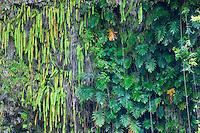 Ferns in Fern Grotto. Kauai, Hawaii