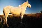 Camargue horse at sunset, Ile de la Camargue, France