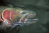 Portrait of a trophy buck Steelhead, Onchorynchus mykiss, in northern British Columbia, Canada