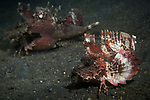 Lembeh Strait, Indonesia; a pair of Devil Scorpionfish, also known as a Demon Stingerfish or Spiny Devilfish, walking across the dark muck on the sea floor