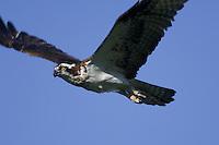 Osprey (Pandion haliaetus). Nova Scotia, Canada.