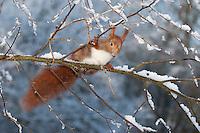 Eichhörnchen, Europäisches Eichhörnchen, im Winter bei Schnee, Sciurus vulgaris, European red squirrel, Eurasian red squirrel