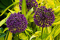 Allium 'Purple Sensation' and Pleioblastus auricomus, a variegated yellow-leaved dwarf bamboo, late May.