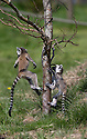 """16/05/16<br /> <br /> """"Look at me jump!""""<br /> <br /> Three baby ring-tail lemurs began climbing lessons for the first time today. The four-week-old babies, born days apart from one another, were reluctant to leave their mothers' backs to start with but after encouragement from their doting parents they were soon scaling rocks and trees in their enclosure. One of the youngsters even swung from a branch one-handed, at Peak Wildlife Park in the Staffordshire Peak District. The lesson was brief and the adorable babies soon returned to their mums for snacks and cuddles in the sunshine.<br /> All Rights Reserved F Stop Press Ltd +44 (0)1335 418365"""