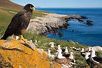 Striated caracara, Falkland Islands
